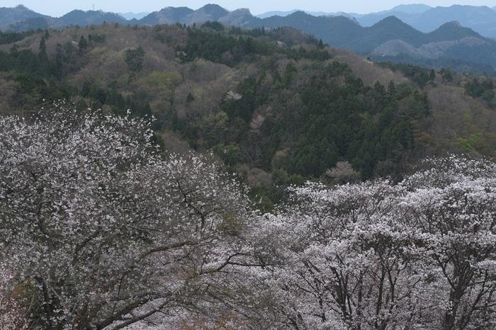 春蘭・沓掛峠の山桜