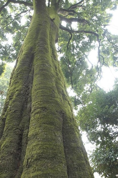 緑衣の巨樹