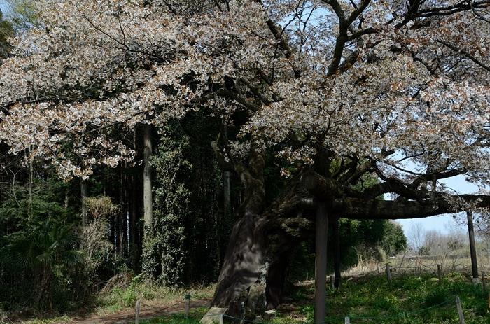 西山辰街道の山桜