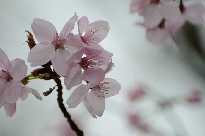 山桜 春の詩