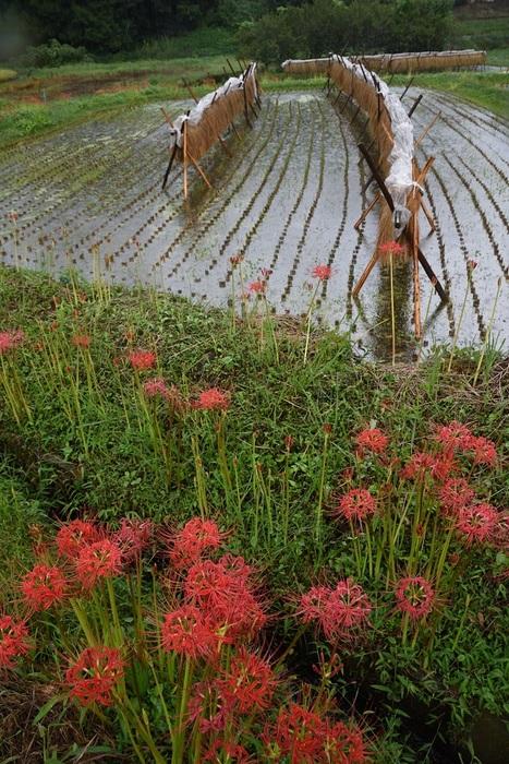 秋雨に咲く