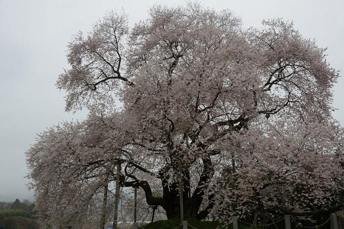湿る春気に咲く