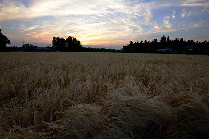 麦秋の風跡