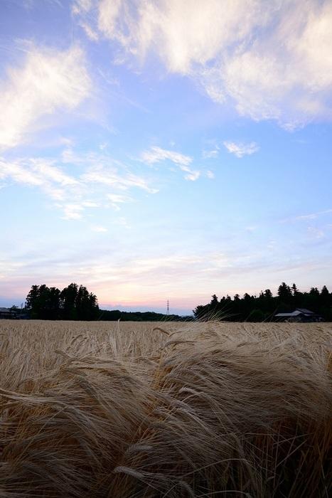 麦秋の夕刻
