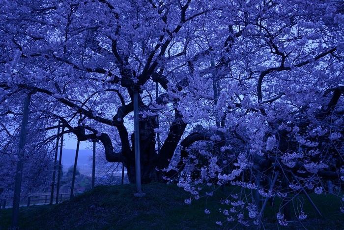 蒼刻の雄桜