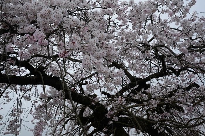 桜華燦々と