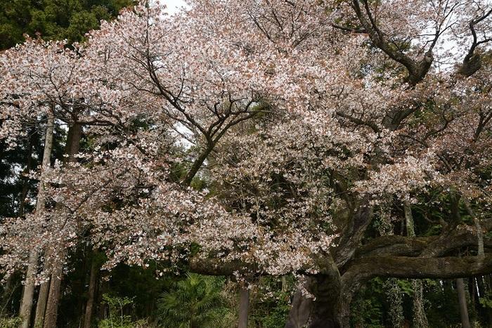 春勢・辰山西街道の山桜