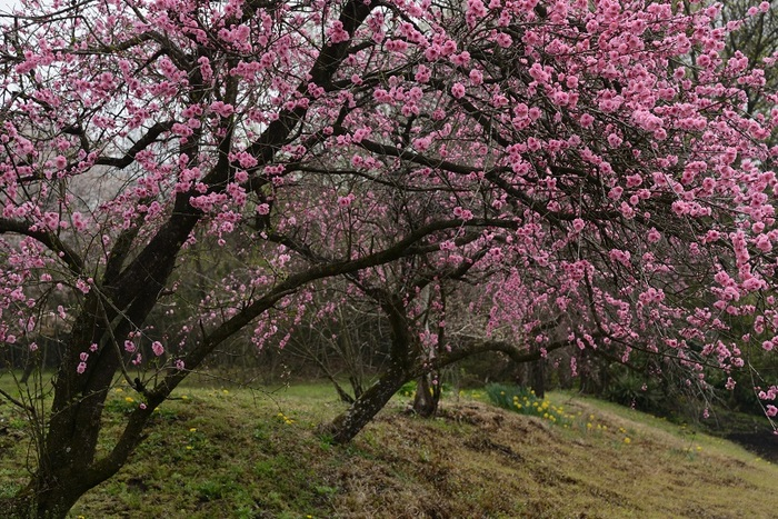 山里の春紅