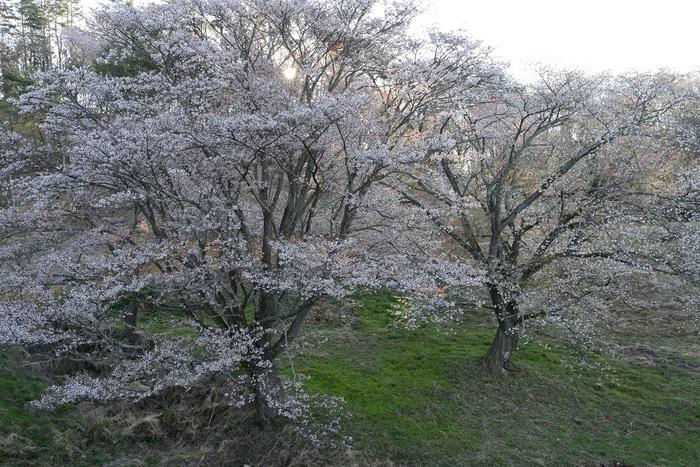 真春の光源
