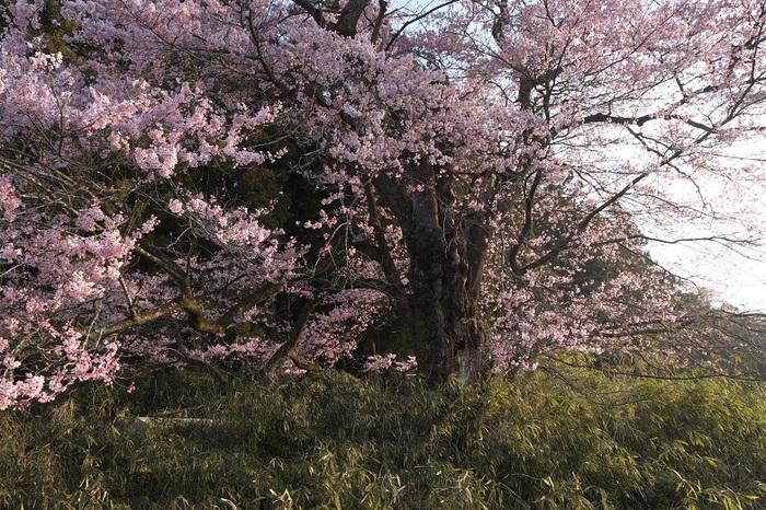 春麗江戸ヒガン桜