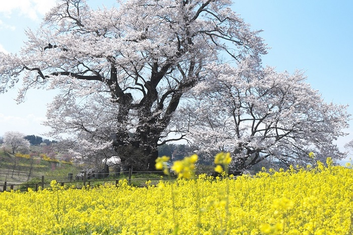 塩の崎の大桜