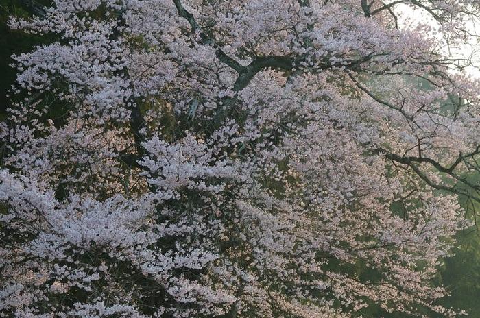春蘭・叶桑沢の江戸彼岸桜