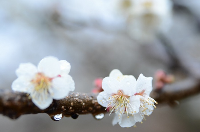 雨水の香歌