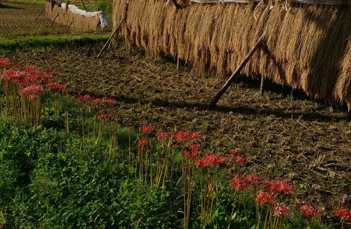 収穫の朝暘