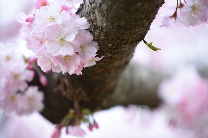 春精思川ザクラ