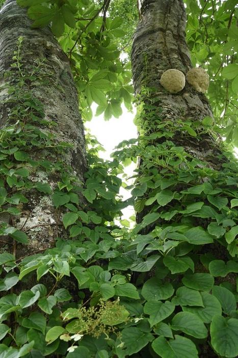 雌雄の樹・緑衣