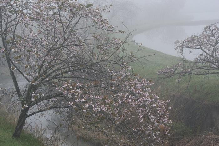 朝霧の八重桜
