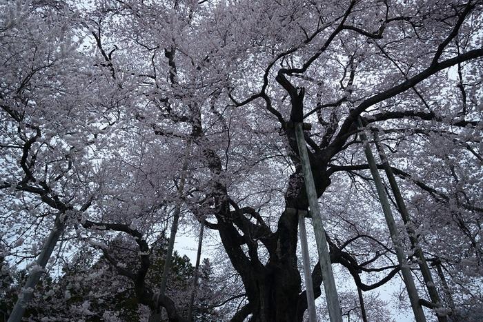 春蘭・戸津辺の桜