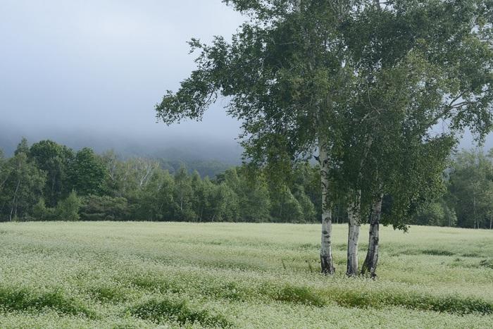 白樺の秋景