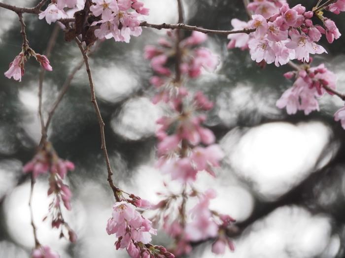彼岸桜三態